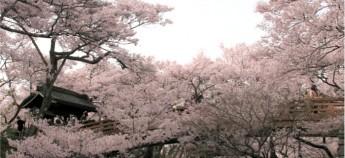 sakura feature