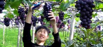 到新社采葡萄。