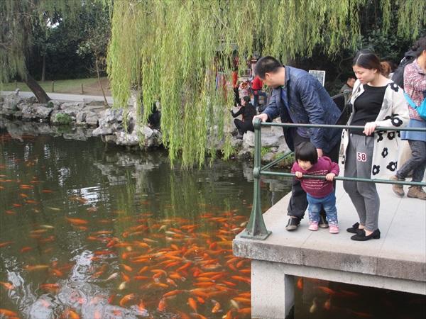 红色鲤鱼为湖水带来色彩上的点缀。