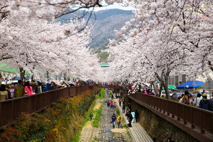 Cherry blossoms in South Korea.