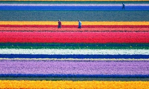 郁金香花海,荷兰