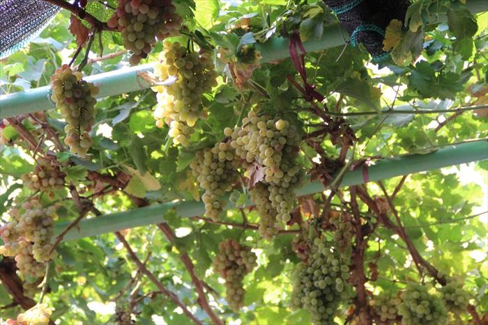 每年的7~8月,是葡萄收成的季节。