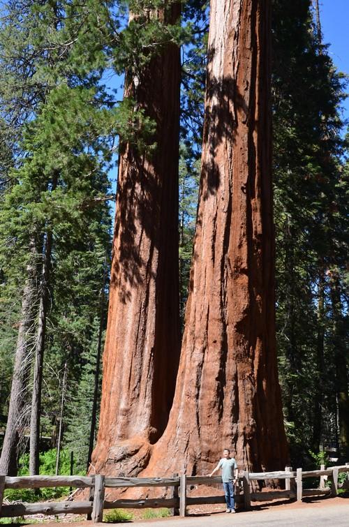 在KC国家公园的红杉大树,它先声夺人,我太渺小了。