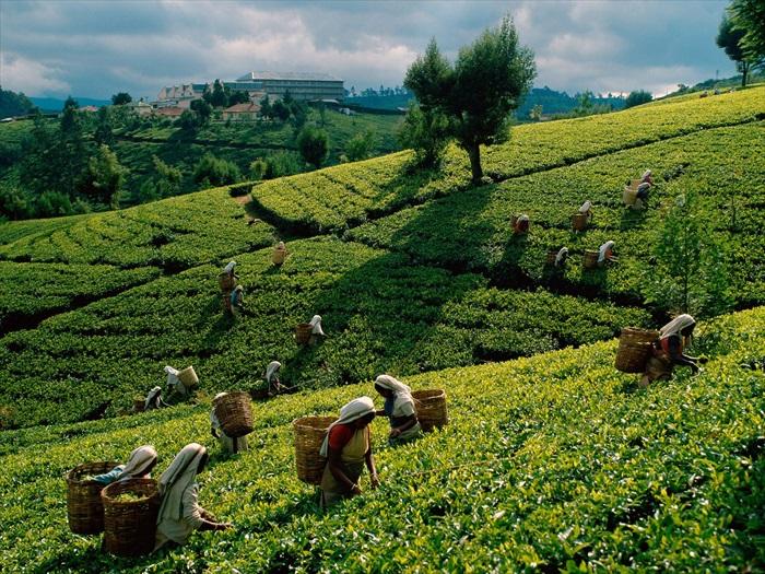 这里是世界主要的产茶地之一,在你的生活中,可是或多或少灌了不少斯里兰卡的茶水呢!