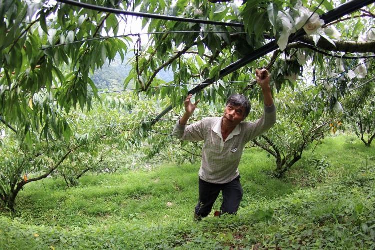 龙园网室果园主人林金龙在山上名气响当当,内行人都知道采果、买水果要找他。