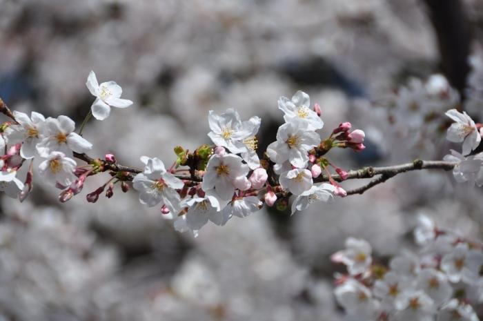 樱花的种类、颜色繁多。