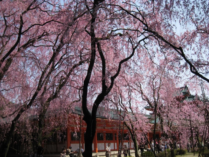 垂樱,开在柳条般的枝桠,微风拂过,花与枝桠摇啊晃的,就像只是出现在梦里的花......