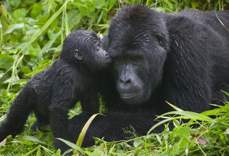 gorilla-kisses-bwindi-impenetrable-national-park-uganda1-1024x695