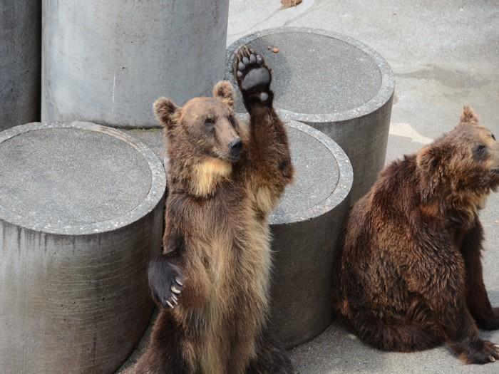 可爱的熊,但一旦抢吃时就会展露凶悍的一面!