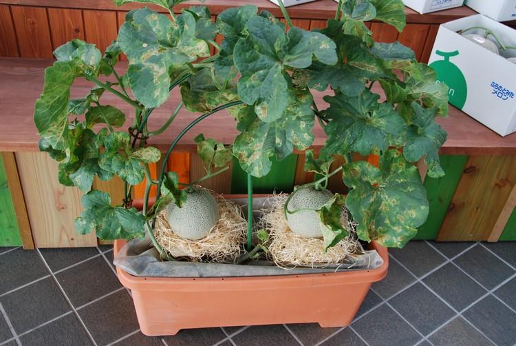 可爱的蜜瓜盆栽。