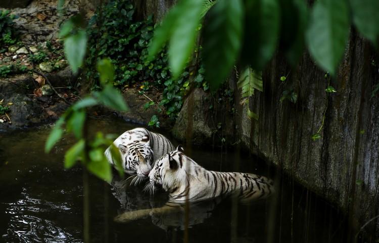 虽然当天的天气炎热,但是却非常幸运能观赏白老虎在水中嬉闹!