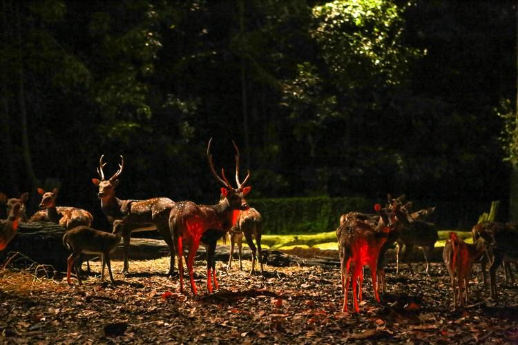 随着游览车的前进,不但能目睹各种动物在月光下觅食的模样,更能一睹自由放养的花鹿的风采。