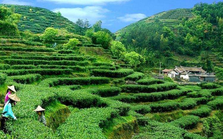 """自古""""名茶藏名山,名山出名茶""""。安溪铁观音就是在青山绿水的环境下造就出来的。"""