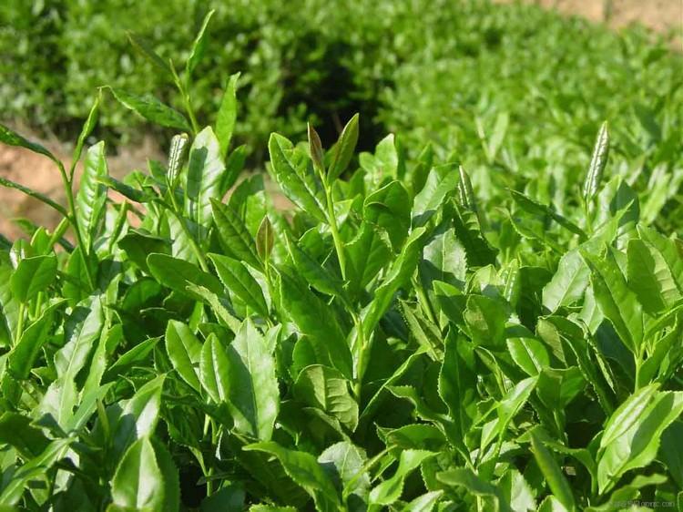 leaf tieguanyin