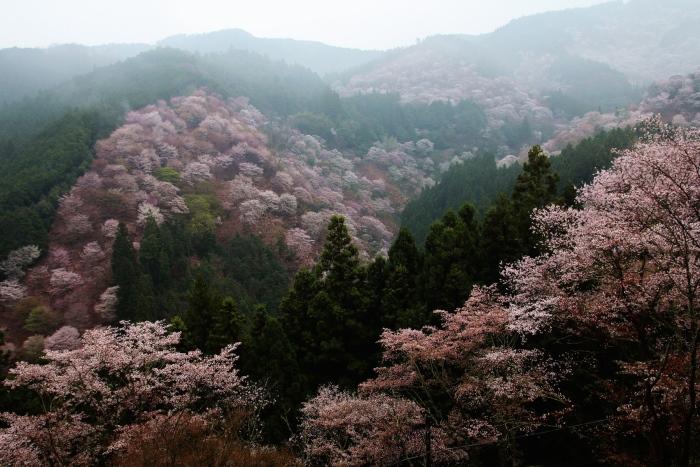 吉野山是赏樱的好地点!