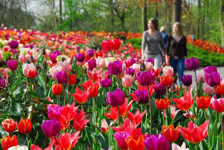 tulip (7)