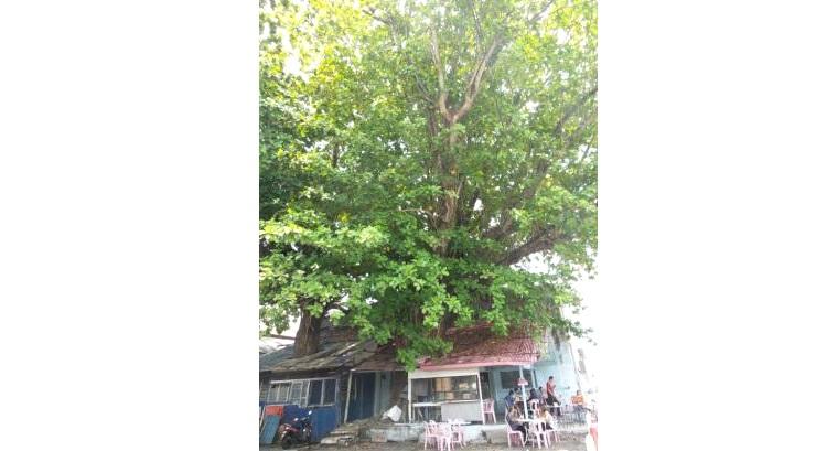 檳城‧亚来大树下茶室。(图:星洲日报)