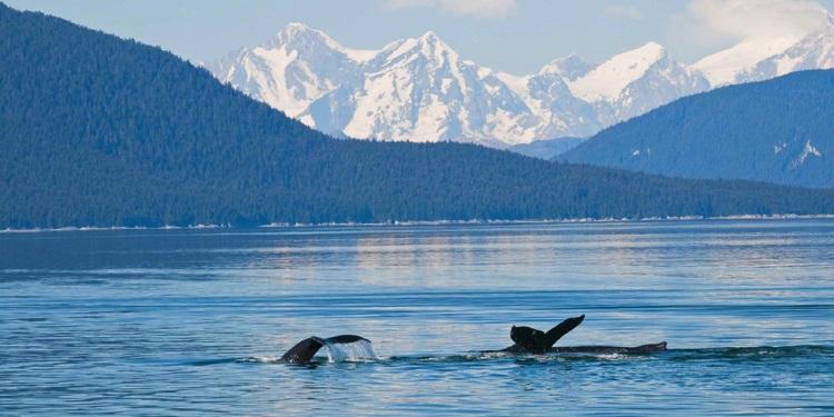 humpback whales Juneau 750