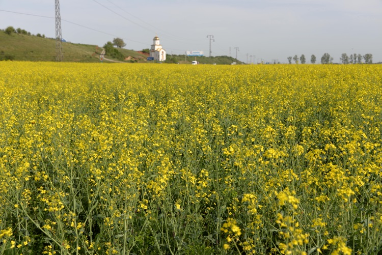 Rapeseed field of Romania is the biggest backyard garden of Europe; Orthodox is the religion of Romanians.