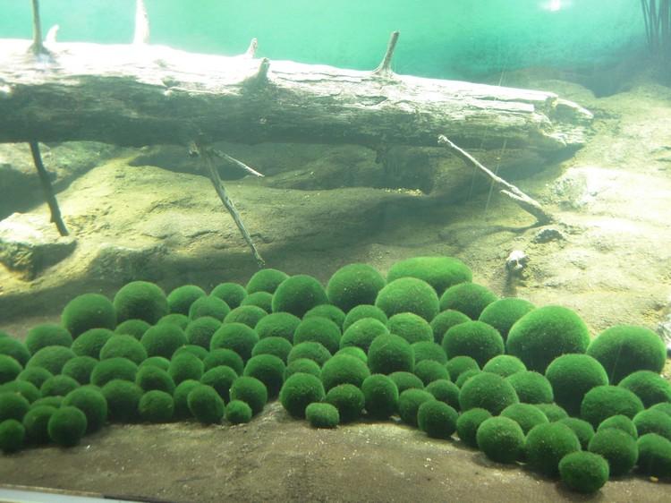 展示缸里的绿球藻(Marimo)。