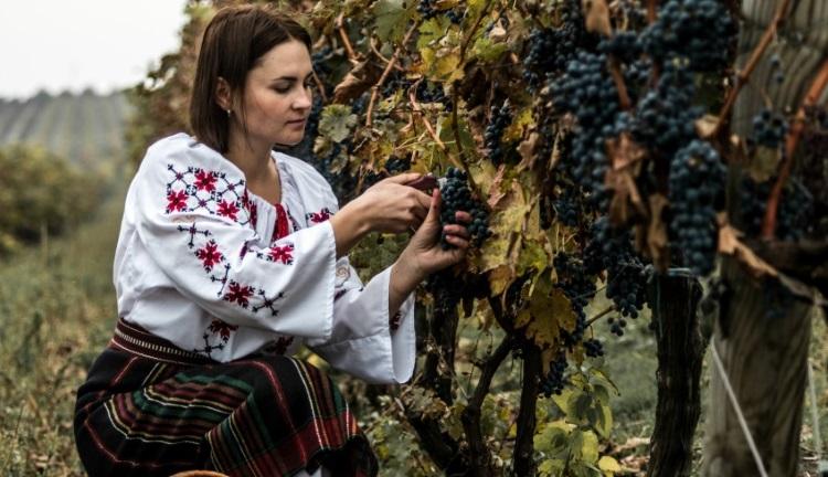 摩尔多瓦有100多个葡萄品种,全国大约10%的葡萄园都种植着珍贵的原生品种。