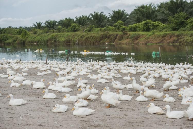 养鸭场共饲养7万只鸭,后面小木屋为放满饲料的食堂。
