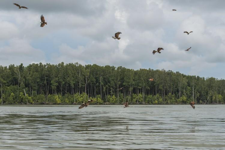 栖息在红树林的老鹰,成群出动觅食。