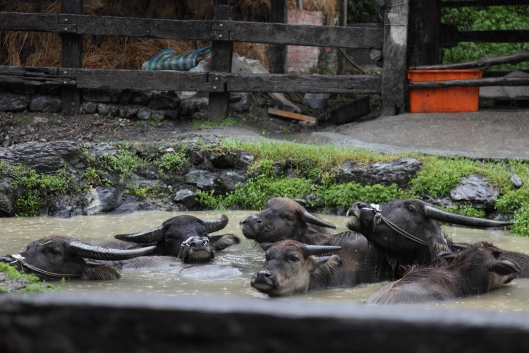 在头城农场看到水牛都躲到水里解暑