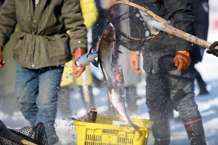 冬天捕鱼有一个额外的好处,就是渔获立即变成冰条,保存、运输都更容易。