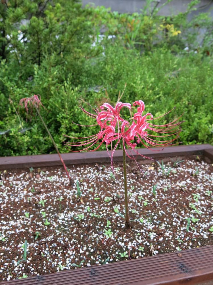 美丽的红花石蒜,让我驻足了好一阵子。
