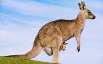 Australian_Kangaroo 350