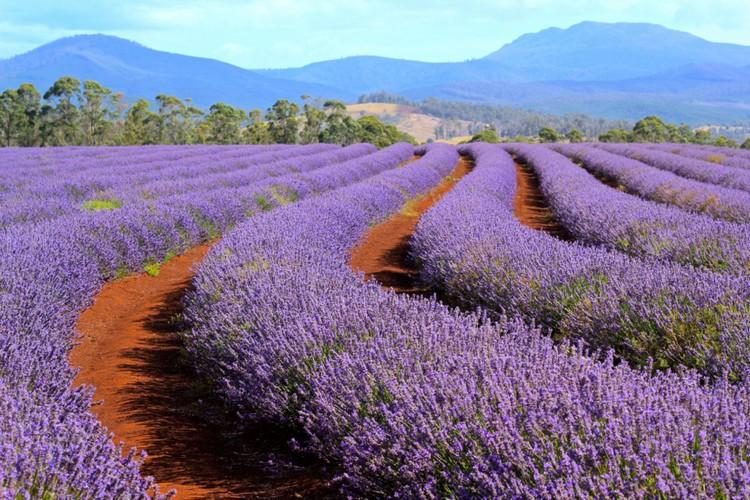 tasmania lavender (2)