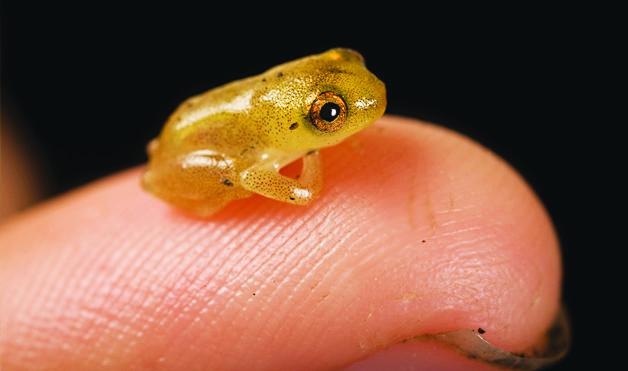 世界上最小的青蛙。(一)