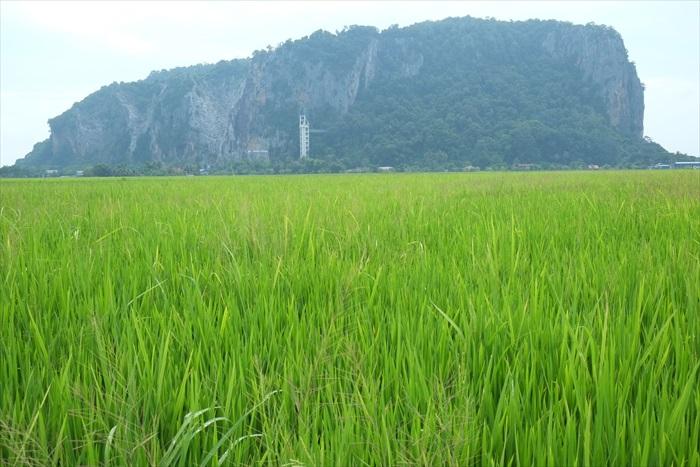 象屿山下是一片辽阔的稻田