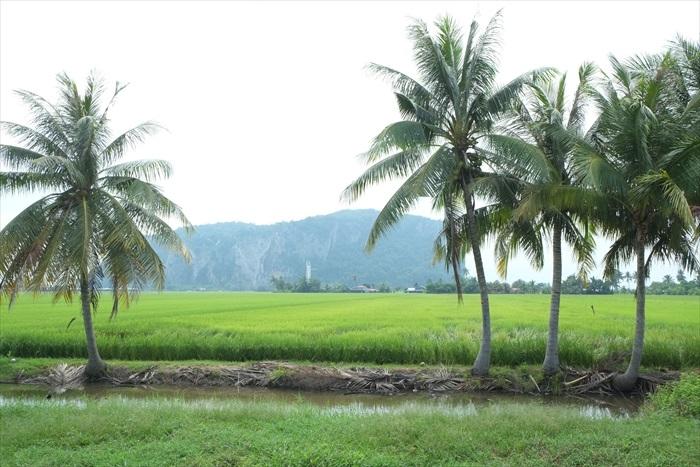 绿幽幽的稻田
