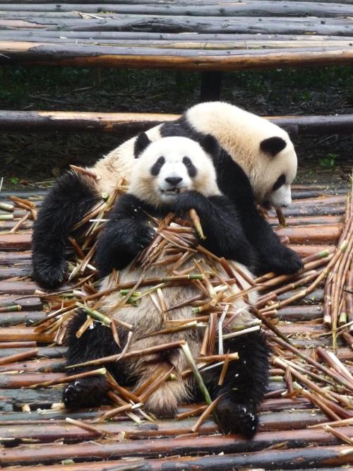 全身铺满了爱吃的竹子,如此放松状态的身形,好像Kungfu Fighting的大熊猫,哈哈!