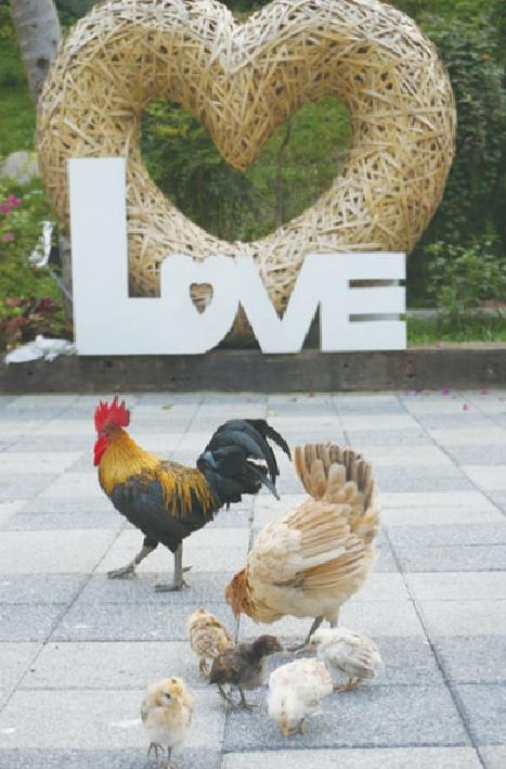 白天的广场上很热闹,公鸡,母鸡带小鸡,鸭子,和平鸽,可爱的麝香猪等都