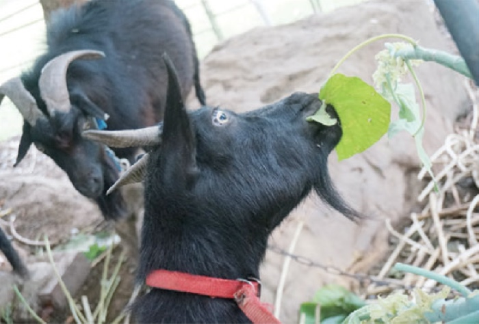 给山羊喂食是大人小孩到了农场都喜欢的活动。