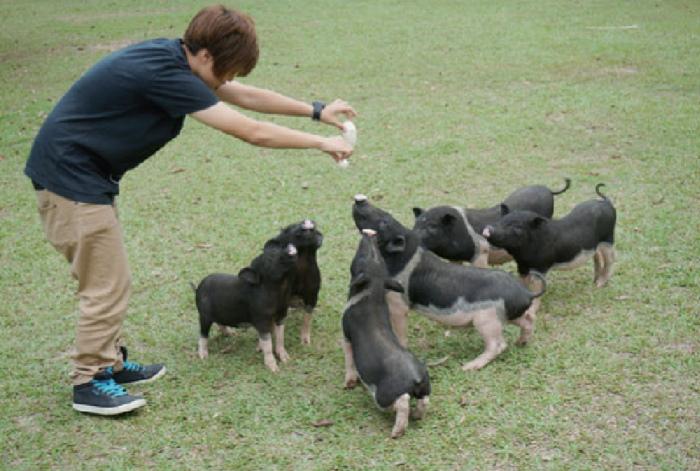 草地上自由散步的麝香猪,一有人喂食立刻就围拢过来。