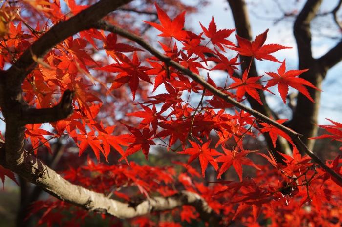 日本树叶の红