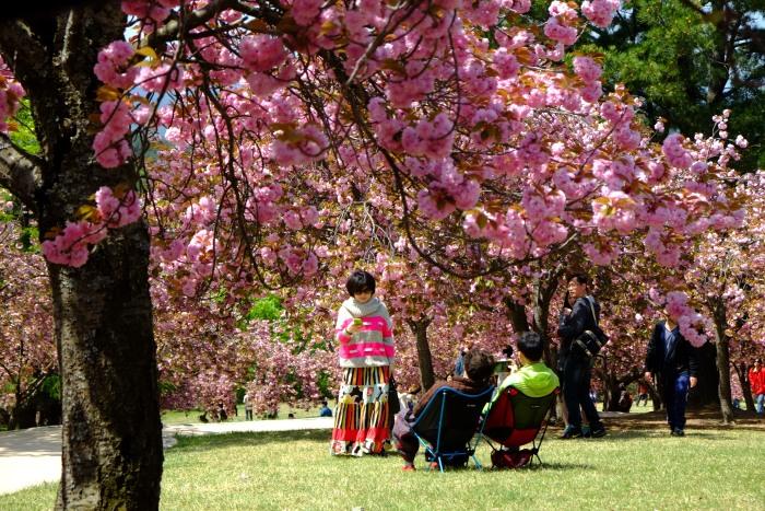樱花园吸引了许多赏樱之人前来