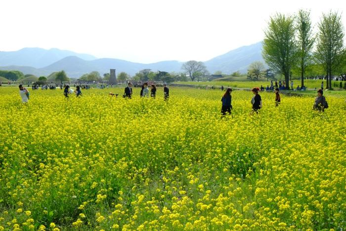 4月的大陵苑开满大片的油菜花,非常耀眼。
