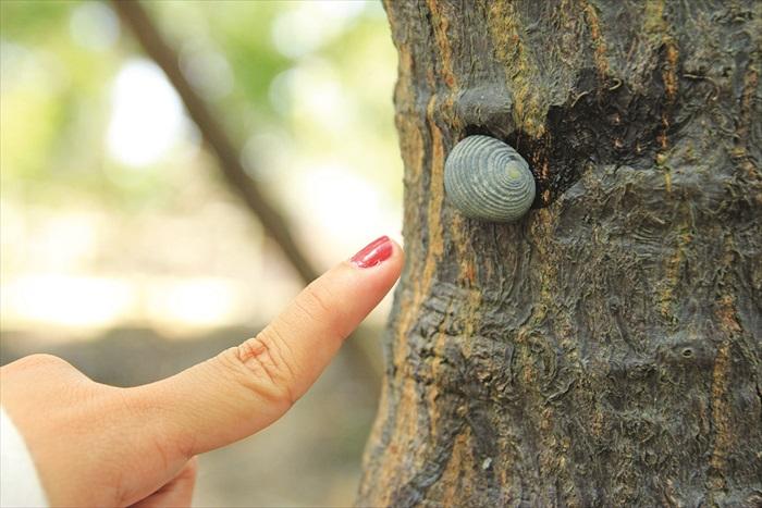 这种圆形的贝类在红树林里数量最多,通常都会依附在红树的树根上,需要用点力拔下来。