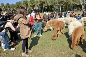 访客可更近距离观看草泥马晒太阳和吃草的模样。