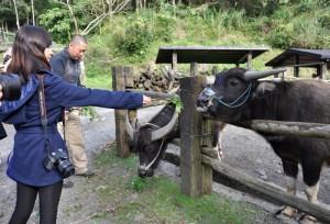 体验喂牛儿吃草。