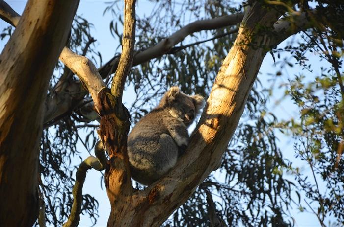 来到澳洲别忘了到无尾熊保育中心与无尾熊见见面!