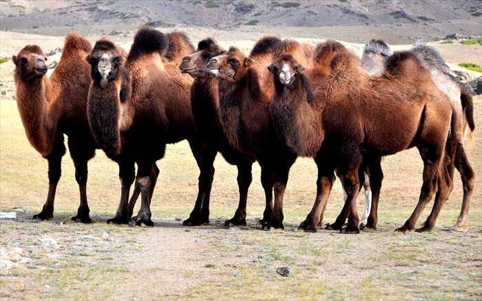 骆驼也是这里常见的动物。