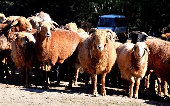 羊群在这里最为常见。