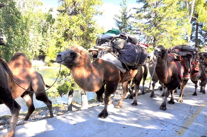 骆驼经常被用于货物的承载。