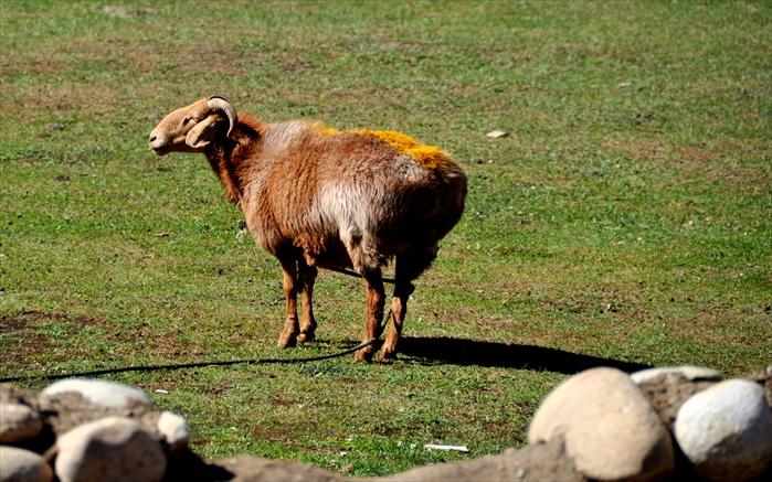 羊是北疆最重要的食物来源。